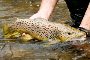 A fisheries biologist releasing a Brown Trout. Photo by Matt Sell