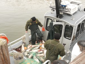 NRP Officers sorting through the illegally caught striped bass