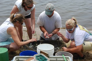 Maryland Fisheries biologists counting juvenile striped bass