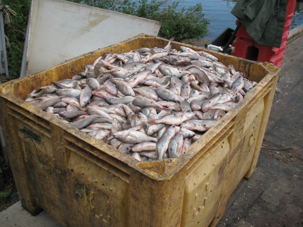 Thousands of pounds of undersized croaker