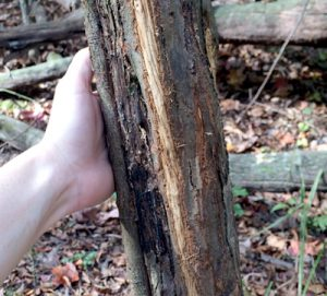 Photo of: Bark stripped from tree