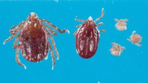 Photo of East Asian tick