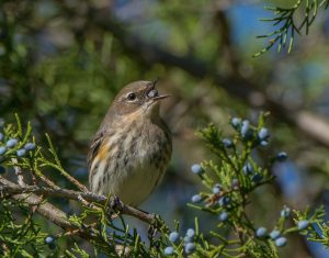 Photo of bird eating berry