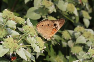 Photo of common buckeye on mountain mint