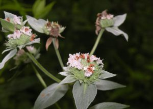 Photo of clustered mountain mint