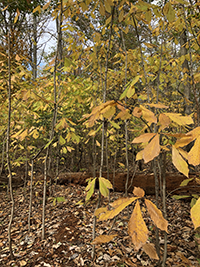 Colorful PawPaws at Elk Neck State Park, photo by Abby Matta