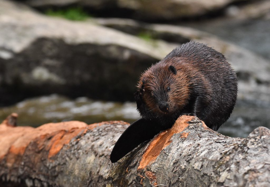 Photo of beaver gnawing on downed tree