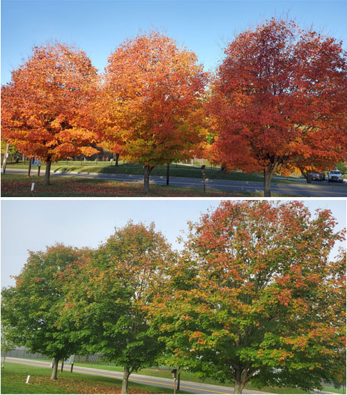 Tree comparison from this year and last. Last year the leaves were bright and colorful at this time. This year the colors are muted, more green and browns.